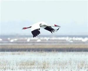 内蒙古图牧吉国家级自然保护区迎来白鹤等万余只候鸟